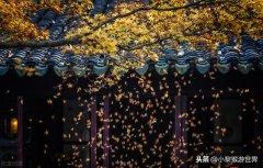 满目金黄,江苏各地银杏加速变色迎来观赏期,
